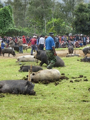 pigs tied to stakes in front of group of people