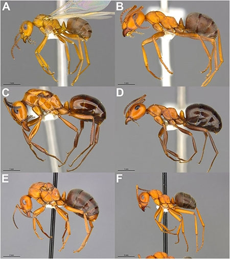 A collage of six photos of ant specimens