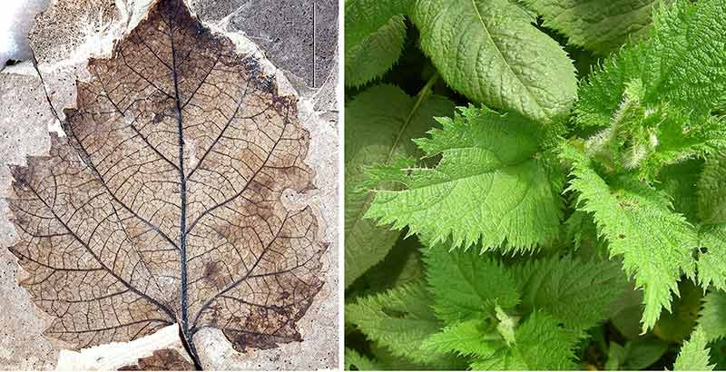 image of a fossil nettle leaf next to image of a modern nettle leaf