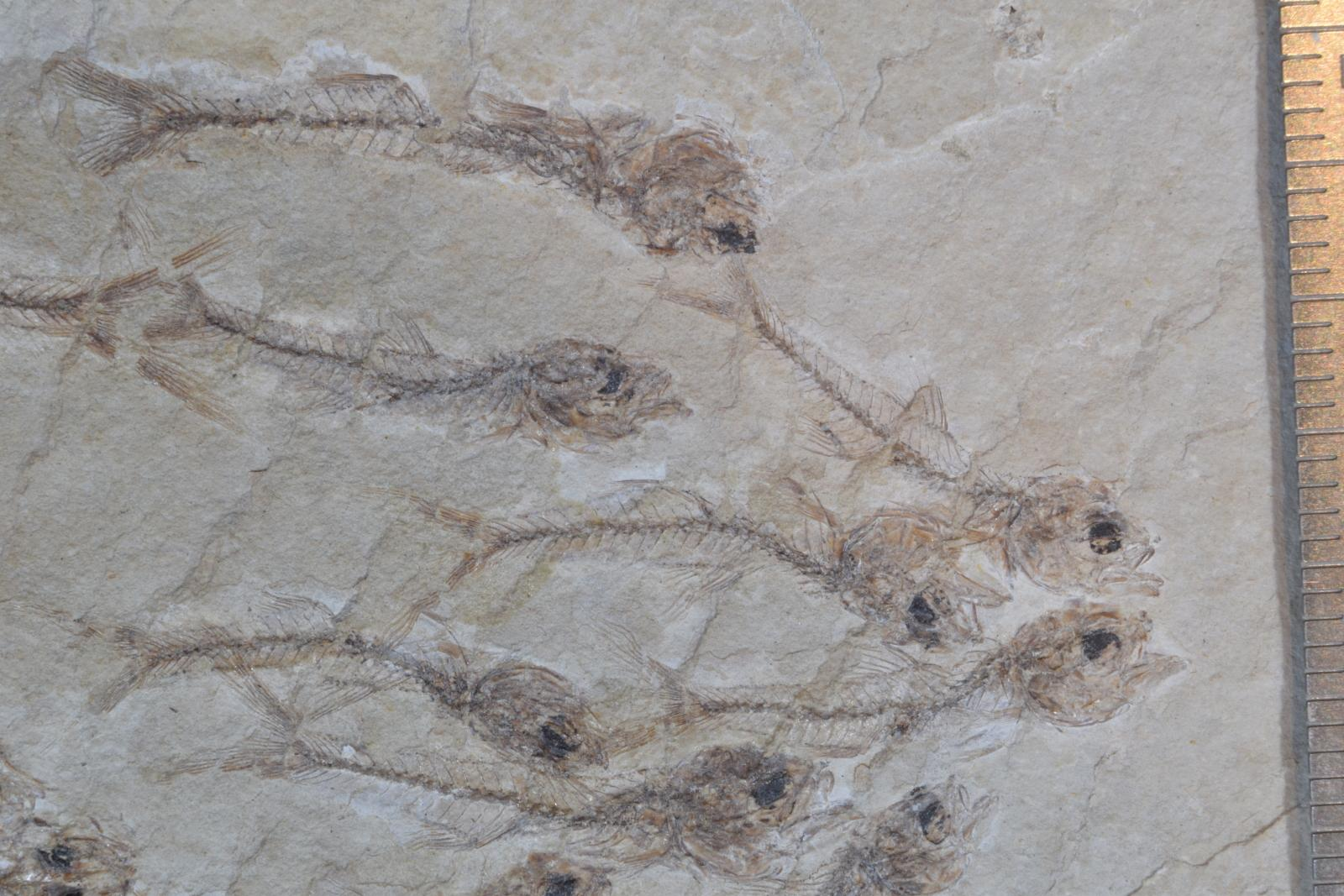 Fossilized fish species published in Proceedings of Royal Society B
