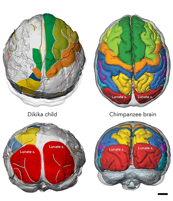 illustrated reconstruction of two brains