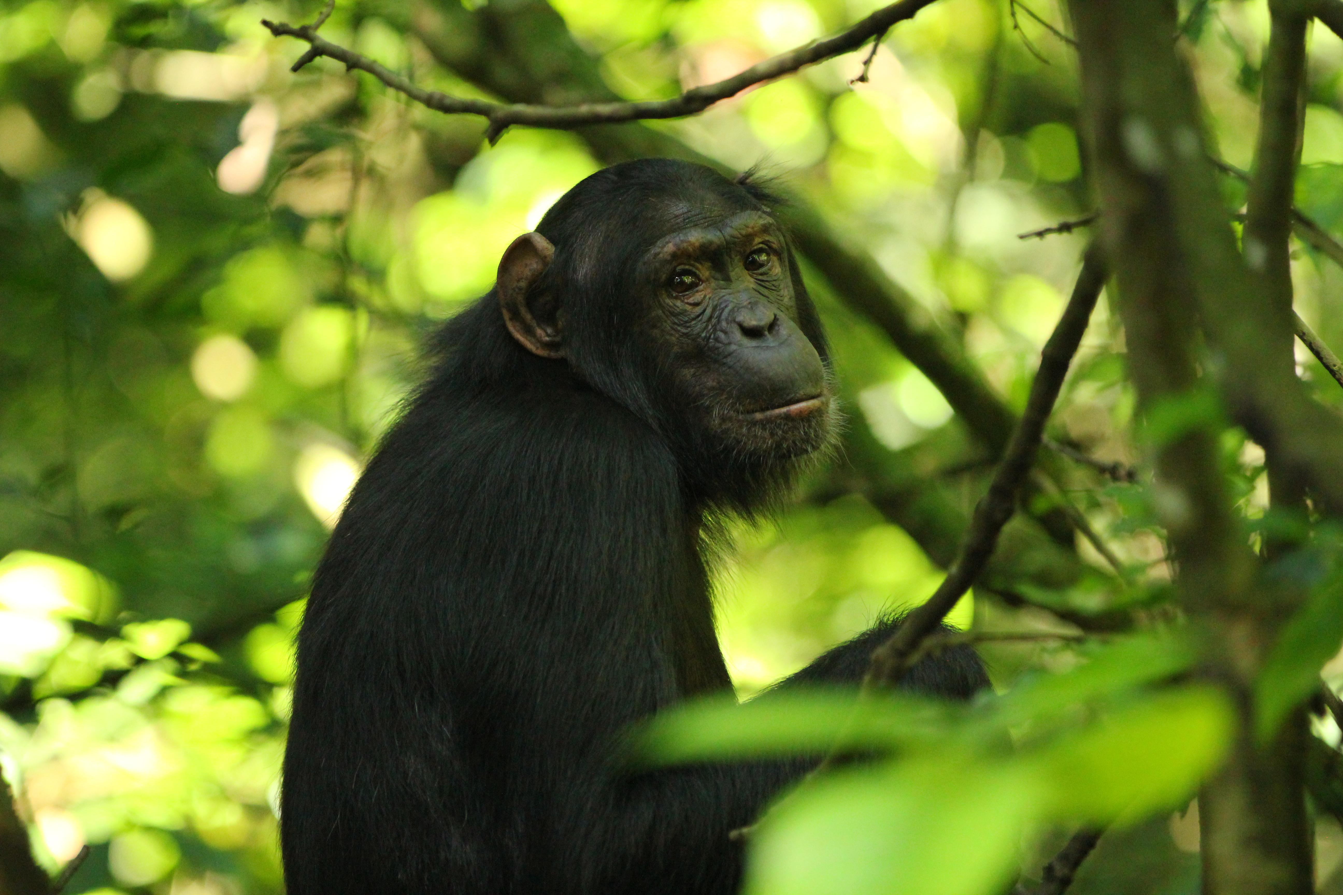 photo of chimpanzee in Kibale National Park