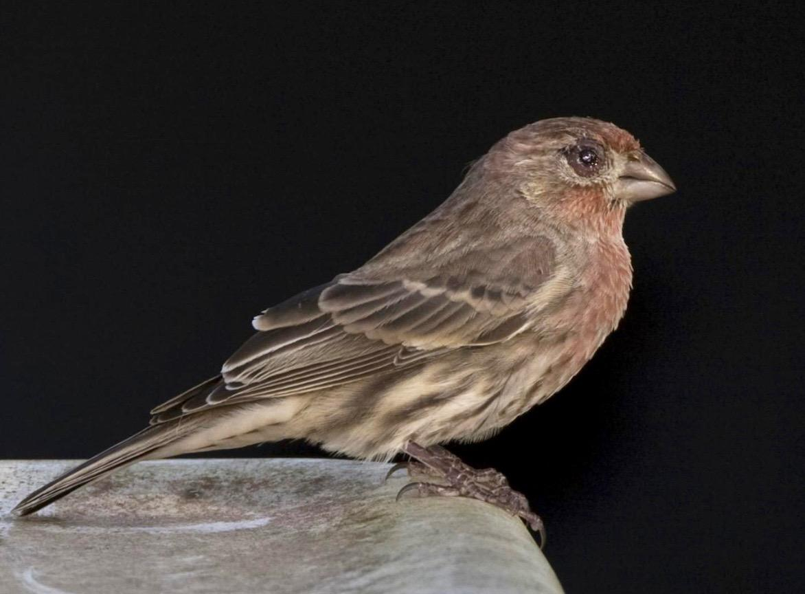 House finch with severe symptoms of conjunctivitis.