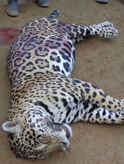 Jaguar are often killed for their pelts