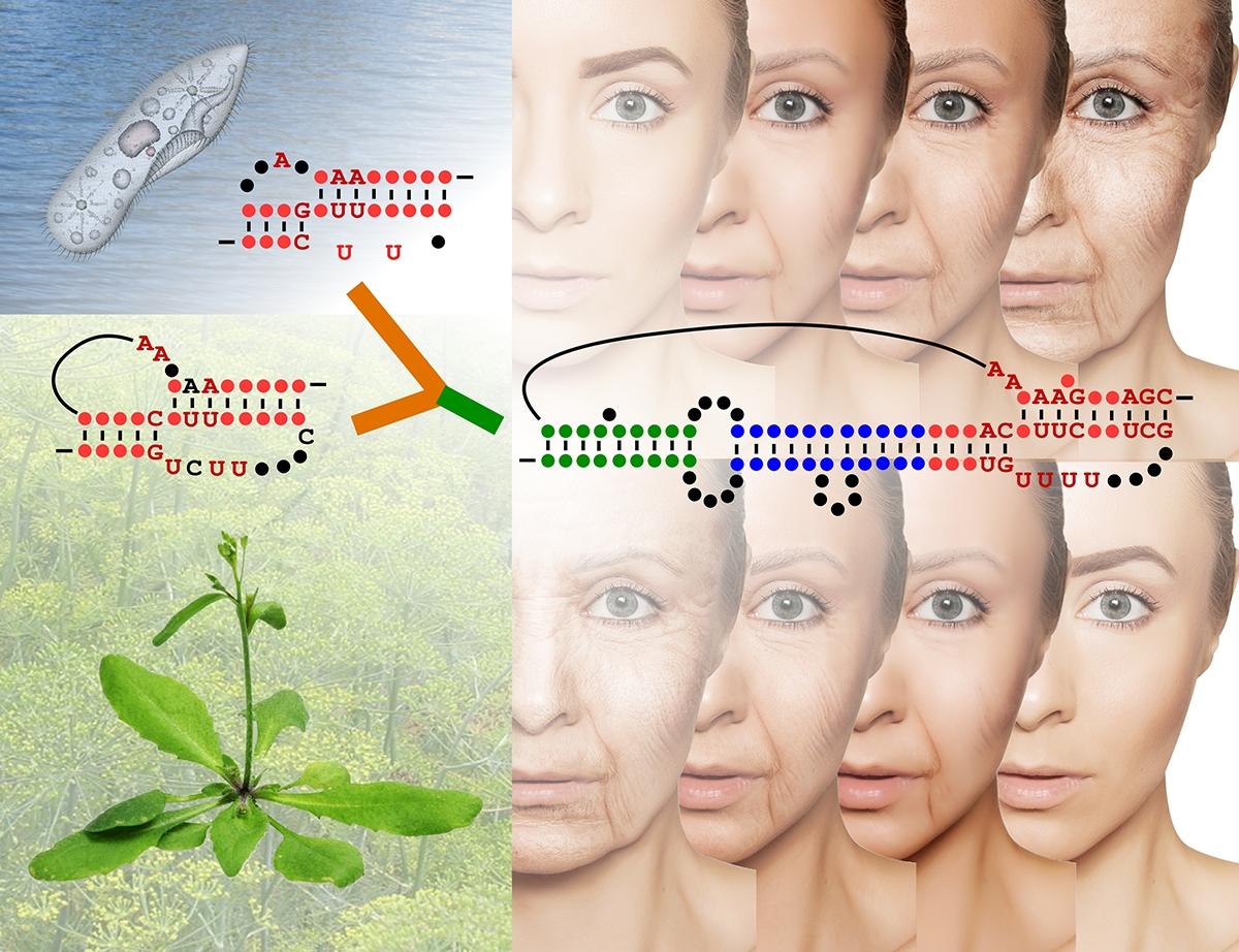 plant telomerase RNA