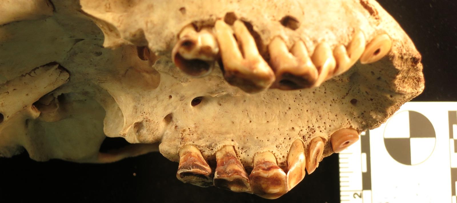 chimpanzee maxilla