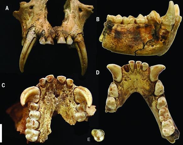 Junzi imperialis fossil