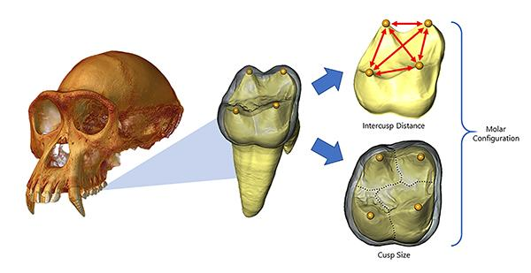 Model of molar cusps