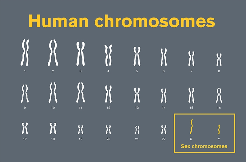 graphic of human chromosome pairs with sex chromosomes highlighted