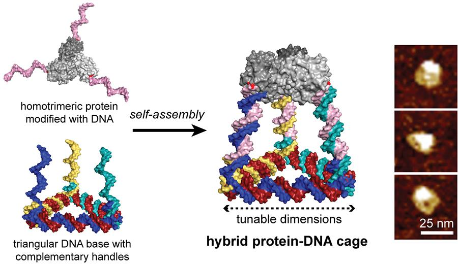 Hybrid Protein-DNA Cage